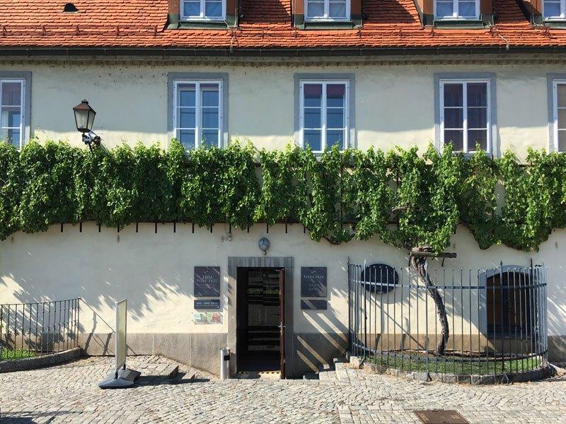 A Maribor la vite più antica del mondo!